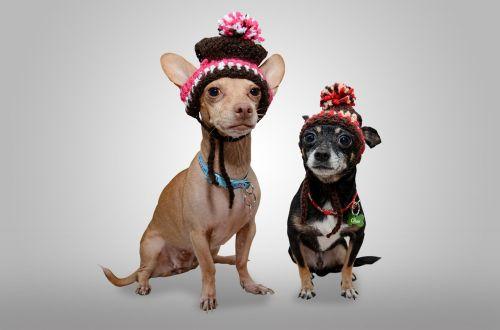 šuo,chihuahua,gyvūnas,naminis gyvūnėlis,šuniukas,juokingas šuo,juokinga,šuo izoliuota,humoras,mielas,veislė,šunys,juokingi gyvūnai,šunys žais,vidaus,žavinga,draugas,linksma,pokštas,šunys,šuo žaidžia,portretas,žiema,skrybėlę,šuo skrybėlę