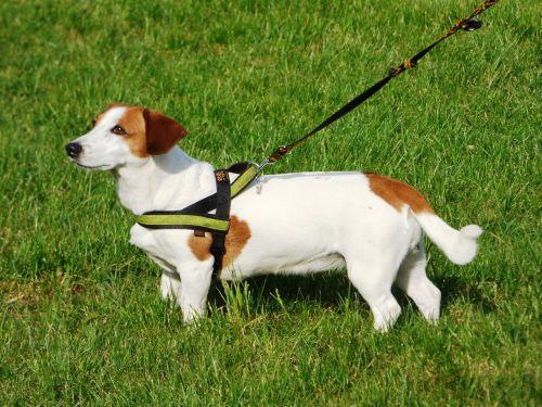 šuo,šunys,gyvūnas,naminis gyvūnėlis,gyvūnai,snukis,uodega,kailis,laimingas,draugas,žmogaus draugas,veislė,grynas,pakabukas,spacer