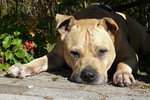 šuo,melas,brangioji,Gerai,mielas,šuo išvaizdą,draugiškas,galva,tingus šuo,šuo snukis,gyvūnų portretas,naminis gyvūnėlis,hibridas,dėmesio