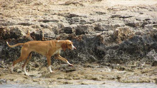 šuo,bjaurus,klajojantis,papludimys
