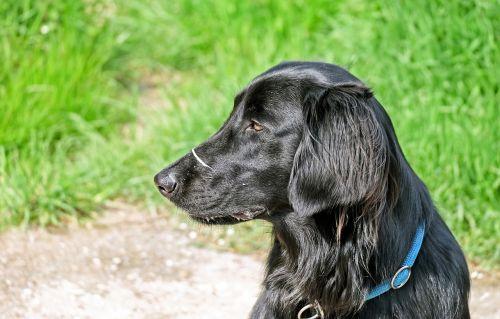 šuo,juoda,plokščias padengtas retriveris,hundeportrait,gamta