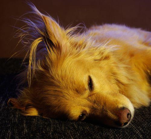 šuo,naminis gyvūnėlis,gyvūnas,jaunas šuo,lenktynės,hibridas,žinduolis,melas,tingus šuo,kailis,šuo snukis,nuotrauka,gyvūnų portretas,nosis,snukis,Uždaryti,šuo išvaizdą,ruda,šuo galvą