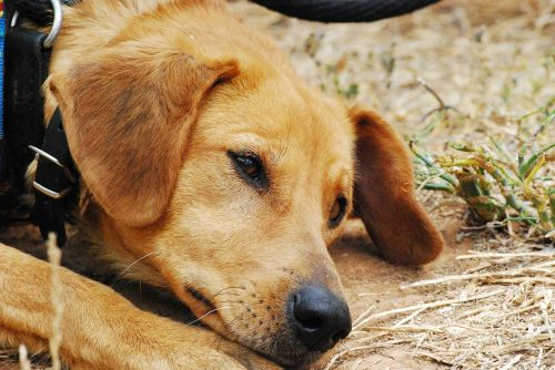 šuo,liūdnas,eksponuotos,kalė,gyvūnų prieglauda,šunys,hibridai,gyvūnas