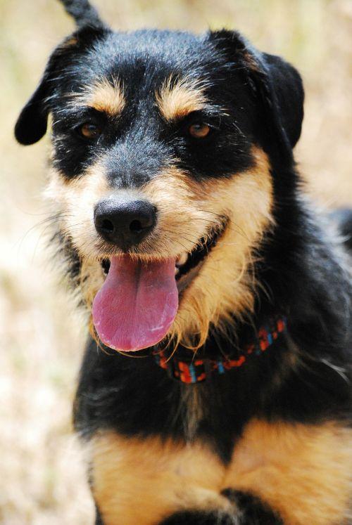 šuo,gyvūnas,hibridas,šnauzeris,juoda,brun,gyvūnų prieglauda,draugas,draugas