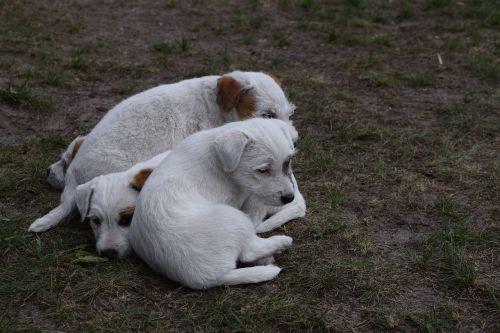 šuo,šuniukai,šunų šuniukai,parson russell terrier