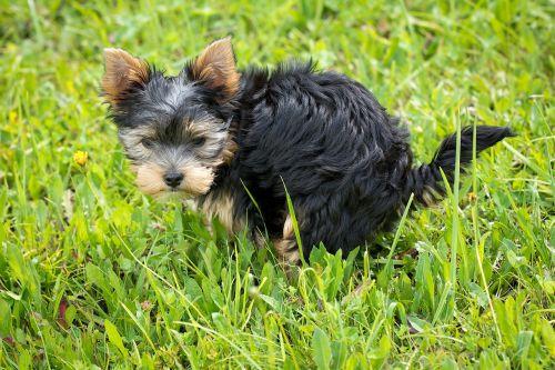 šuo,šuniukas,gyvūnas,naminis gyvūnėlis,mažas šuo,žinduolis,veislės šuo,Jorkšyro terjeras,pieva,žolė,verstis verslu,šuo išmatos,išspręsti kot,gamta