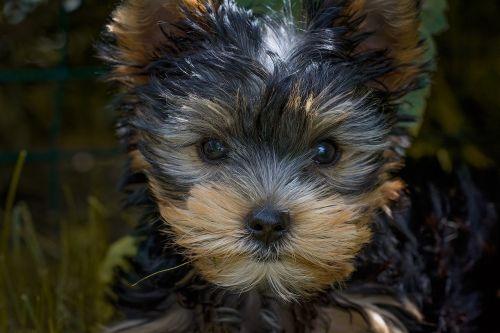 šuo,šuniukas,Jorkšyro terjeras,jorkšyro terjero šuniukas,mažas šuo,grynaveislis šuo,šuo veido,šuo galvą,šunų akys,gyvūnas,naminis gyvūnėlis,žinduolis,draugas,kompanionas,jaunas,mažas,saldus,mielas,Gerai