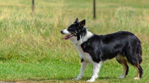 šuo,sienos kolis,žiūri,žaisti,paklusnus,aviganis,stovintis,lauke,parkas,žolė