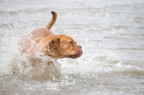 laukinės gamtos fotografija,gyvūninės fotografijos,šuo,vanduo,Šiaurės jūra,jūra,ežeras,lenktynės,gyvūnas,gamta,linksma,šuo vandenyje,bėgimo lenktynės,vaidina,žaisti,veiksmas,vandens šuo,šuo jūroje,šuo šiaurinėje jūroje,šuo vaidina,šuo eina,lenktyninis šuo,šunų portretas,portretas,papludimys,šiaurinis jūros paplūdimys,vandens purslai,šlapias,atostogos,vasaros atostogos,atostogos su šunimi,šventė,nikonas 55-300mm,nikon d5100