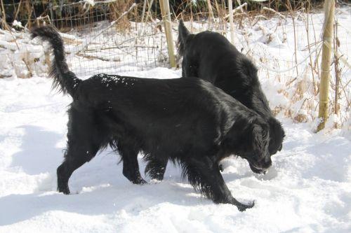 šunys,naminis gyvūnėlis,žiema,juoda,gyvūnas,plokščias padengtas retriveris,Flatti