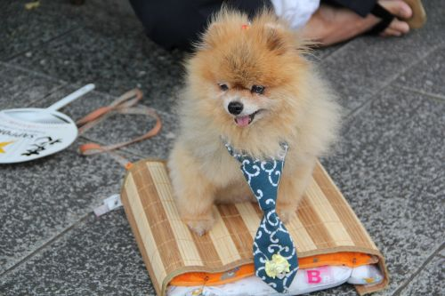šuo,naminis gyvūnėlis,mielas,gyvūnas,laimingas,draugas,kailis,žavinga,kaklaraištis,šuniukas,mažai,juokinga,mielas,mažas