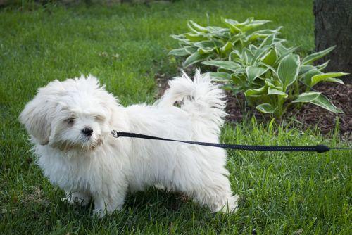 šuo,šuniukas,kiemas,pakabukas,naminis gyvūnėlis,mielas,gyvūnas,šunys,balta,žavinga,linksma,lhasa apso