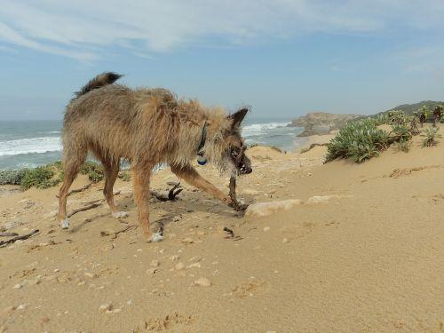 šuo,papludimys,vaikščioti,gyvūnas,atostogos,šunys,žaisti,vasaros paplūdimys