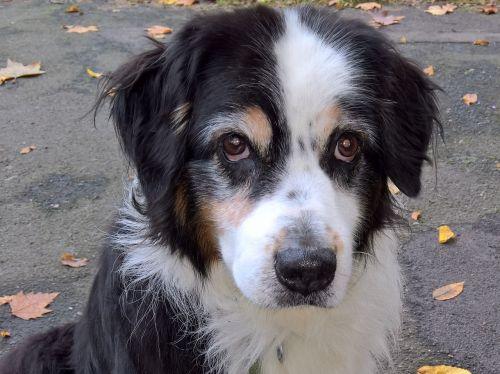 šuo,australia shepard,juoda tri,naminis gyvūnėlis,rudos šuns akys,ištikimas išvaizda,ieškoti,pilka,senti,draugas,geriausias draugas