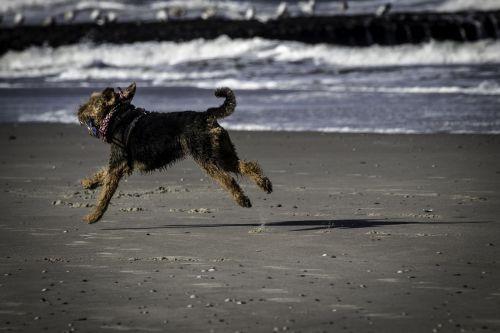 šuo,jūra,papludimys,šuo paplūdimyje,linksma,šuo atostogaujant,bėgimo šuo,mažas šuo,romp