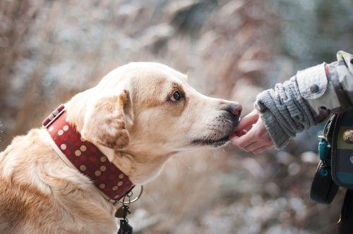 šuo,Draugystė,gamta,pasitikėjimas,labradoras,snukis