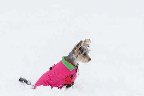 šuo,mažas šuo,Jorkšyro terjeras,yorki,jaunas šuo,mažas,saldus,mielas,grynaveislis šuo,naminis gyvūnėlis,gyvūnas,žiema,out,sniegas,šunų drabužiai