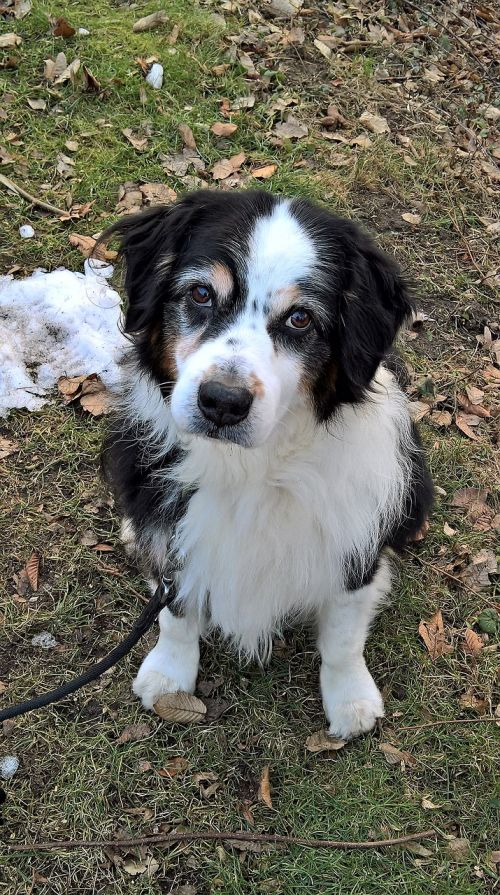 šuo,australia shepard,juoda,balta,ruda,klausantis išvaizda,rudos akys,stora lakta,pilka,senas,Gerai,draugas,geriausias draugas