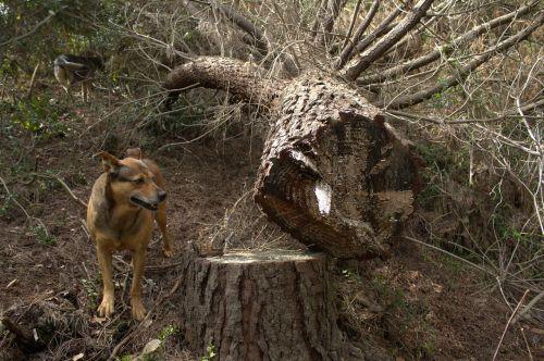 šuo,bagažinė,naminis gyvūnėlis,gyvūnas,gamta,mielas,vasara,medis,mediena,lauke,žinduolis,žalias,šunys,žavinga,atostogos,miškas