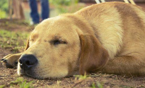 šuo,gyvūnas,naminis gyvūnėlis,kilmės