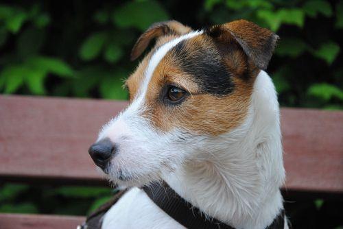 šuo,terjeras,mažas šuo,šuo išvaizdą,šuo galvą,parson russell