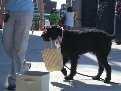 šuo,paklusnumas,naminis gyvūnėlis,gyvūnas,paklusnus,šunys,veislė,mokymas,vaikščioti,grynakraujis