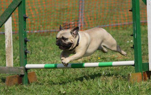 šuo,Mopsas,mokymas,šokinėja,veislė,kilmės