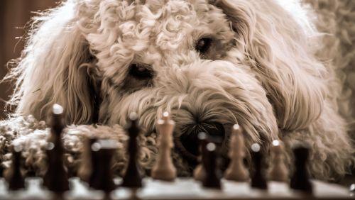 šuo,goldendoodle,Šachmatai,žaisti,hibridas,naminis gyvūnėlis,gyvūnas