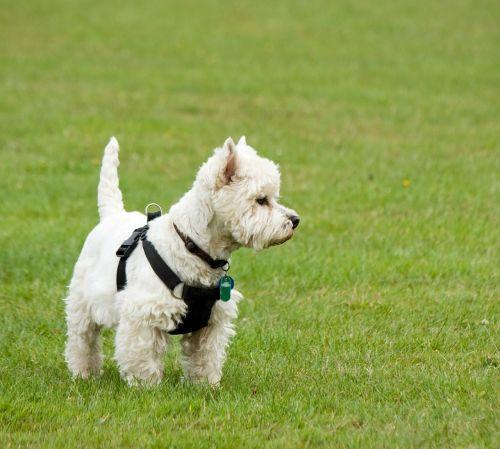 šuo,Westie,vakarų aukštumos terjeras,vakarų aukštumos baltasis terjeras,terjeras,balta,mielas,stovintis,žalias,žolė,šunys,naminis gyvūnėlis,kilmės,veislė