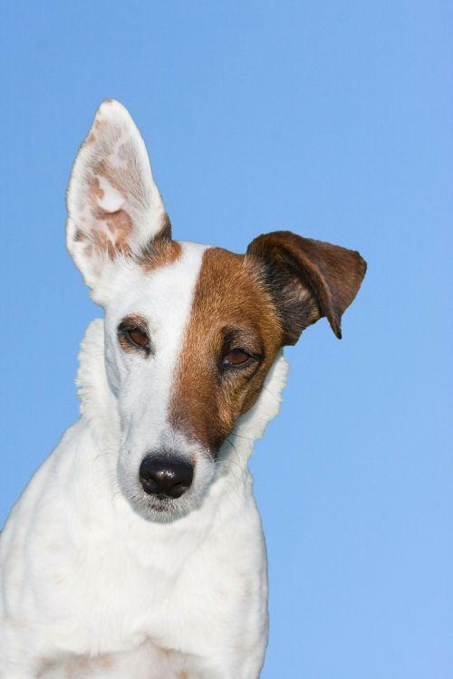 šuo,terjeras,lapės terjeras,sklandus lapės terjeras,gyvūnas,naminis gyvūnėlis,mielas,šunys,mėlynas,dangus,fonas,portretas,Iš arti,galva,veidas,detalės,graži