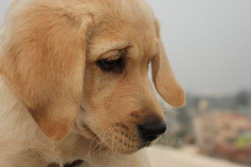 šuo,žiūri,tylus,labradoras,rudos akys,Iš arti