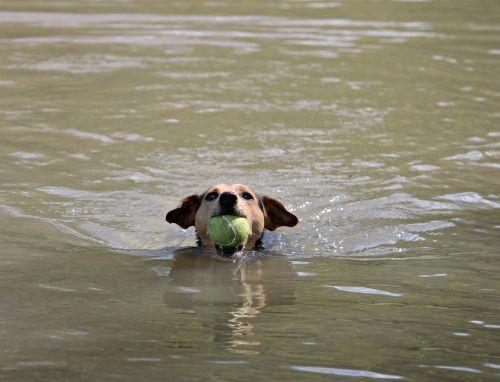 Šuo, Rutulys, Plaukti, Žaisti, Vanduo, Upė, Naminis Gyvūnėlis, Žaismingas, Ruda, Veiksmas, Hibridas, Irklas, Šuo Plaukti, Ištvermė, Fitnesas
