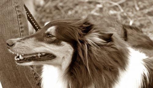 šuo,ilgaplaukis kolis,trispalvis,sepija,uostas,gyvūnų portretas