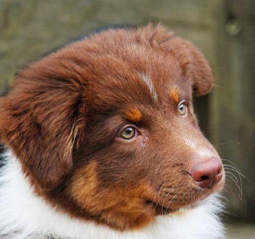 šuo,jaunas,jaunas šuo,mielas,grynaveislis šuo,šuniukai,mažas šuo,naminis gyvūnėlis