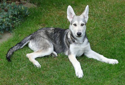 šuo,kalė,šuniukas,vilkų šuo,saarloos,saliero vilkų šuo,naminis gyvūnėlis,hundeportrait,įdomu,įžūlus,jaunas šuo,grynaveislis šuo,jaunas,žaismingas