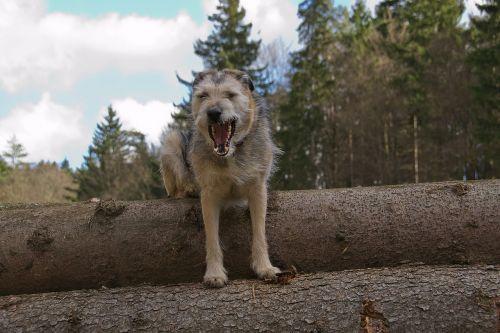 šuo,hibridas,snukis,žinduolis,grasinanti