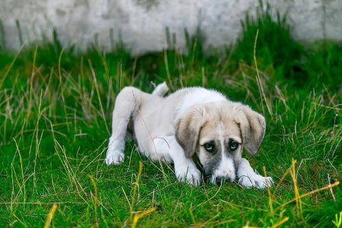 šuo,bjaurus šuo,kūdikių gyvūnas,mielas šuo,sargas šuniukas,augintiniai,gyvūnų portretas,medžioklės šuo,šuo pavargęs,sergantis šuo,aviganis,saldus šuo