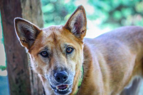 šuo,gyvūnas,naminis gyvūnėlis,žavinga,veislė,vidaus,šunys,kilmės,draugas,gamta,ruda,lauke,šuniukas,juokingi gyvūnai,mielas