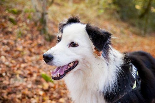 šuo,Berger,miškas,naminis gyvūnas,australų aviganis,australian,gyvūnas