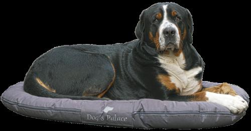 šuo,Berni kalninis šuo,vaizdas,veislinis šuo,šuo pagalvė,pagalvė,sausra bächler,šunų veislė,trys spalvos,portretas,naminis gyvūnėlis,gyvūnas,dėmesio,kailis,grynaveislis šuo,hundeportrait,gyvūnų portretas,izoliuotas
