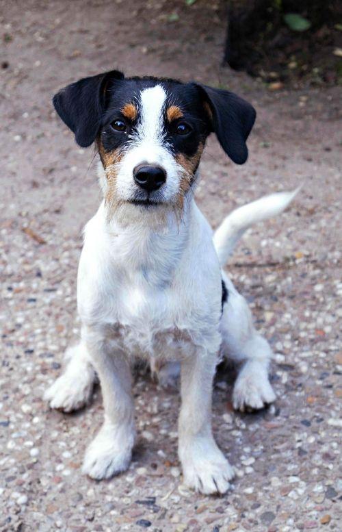 šuo,jack russell terrier,terjeras,Jack russell,lenktynės,medžioklės šuo,grynaveislis šuo,naminis gyvūnėlis,gyvūnų portretas,mažas šuo,Jack-Russell Terrier,snukis,gyvūnas,šunys,trispalvis,jaunas šuo,Patinas,padaras,šuo išvaizdą
