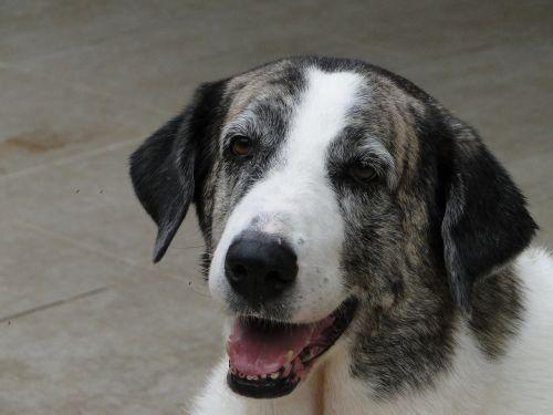 šuo,gyvūnas,naminis gyvūnėlis,šunys,kilmės