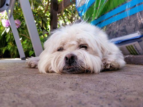 šuo,mielas,miega,grindys,gulintis,naminis gyvūnėlis,šuniukas,gyvūnas,balta,žavinga,portretas,mielas šuo,vidaus,draugas,ruda,šunys,mielas šuniukas,mažas,kailis,šuniukas,plaukai,akys