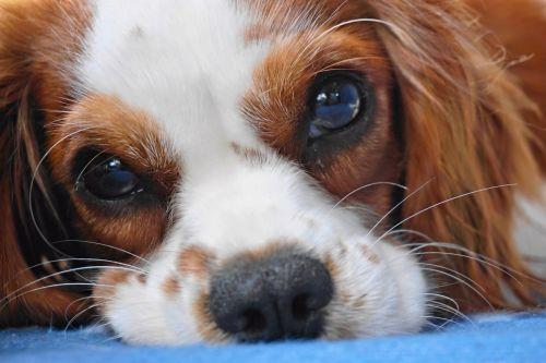 šuo,kavalierius karalius charles,cavalier,mažas šuo,portretas,balta,karalius charles,ruda,mielas,kailis,gyvūnas,naminis gyvūnėlis,grynaveislis šuo,spanielis,bi spalva,melas,karalius,vaizdas,akys,saldus,veidas,iš priekio