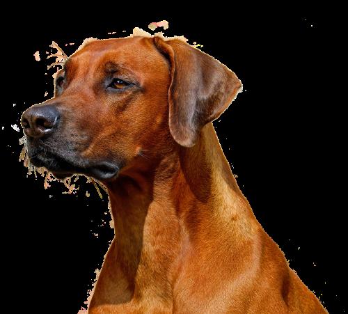 šuo, izoliuotas, hundeportrait, gyvūnas, gamta, grynaveislis šuo, brangioji, rudas šuo, šuo išvaizdą, naminių gyvūnėlių portretų grynaveislis, gyvūninės fotografijos, be honoraro mokesčio