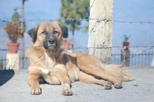 šuo, gyvūnas, šuo sėdi, šunys, portretas, bjaurus šuo, kalninis šuo, Garhwal, be honoraro mokesčio