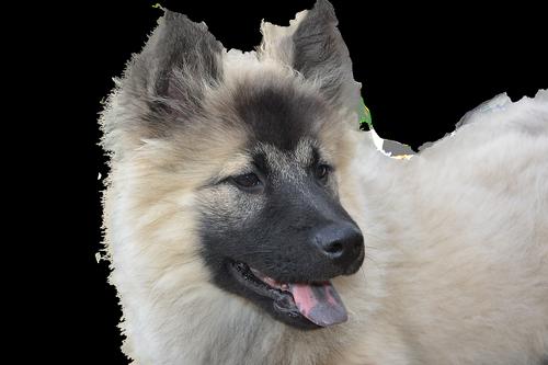 šuo, išskiriamas, eurasier šuo, augintinė, gyvūnas, grynaveislis šuo, Šuo vadovas, kailiai, lenktynės, šunų žvilgsnis