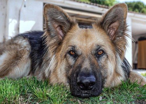šuo, gyvūnas, Šelti, šuo vilkas, Vokiečių aviganis, suaugęs šuo, šuo ramybės, Augintinių priežiūra, augintinė, draugas, poilsio, šuo portretas, auksas