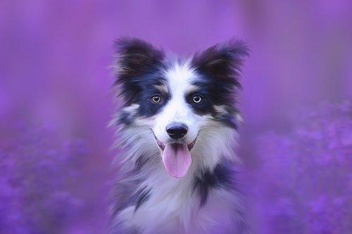 šuo, portretas, gyvūnas, gyvūnų portretas, augintinė, Šuo vadovas, grynaveislis šuo, Borderkolis, Kolis, nosis, mielas, šunų išvaizdą, meniškai, skaitmeninis menas, juoda ir balta, padaras, kailiai, svajinga, švelnus, šuo portretas, collie portretas, levandų, violetinė