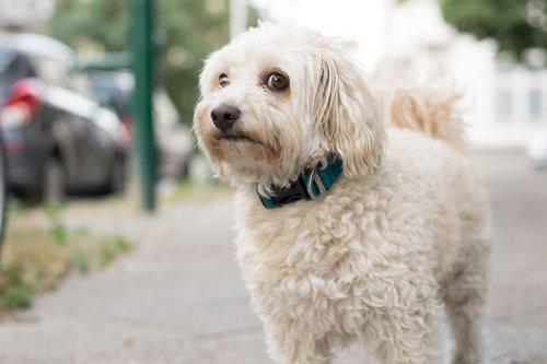 šuo, kalė, Patinas, gyvūnas, augintinė, grynaveislis šuo, kailiai, nosis, žavinga, žinduolis, akys, portretas, gyvūnų portretas, pobūdį, Dėmesio, lauko, Gerai, bolonka, mielas, pasirinktinai, juosmens šuo, šuo kompanionas